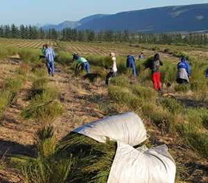 Rooibos farmers hopeful origin-status will lift weak prices