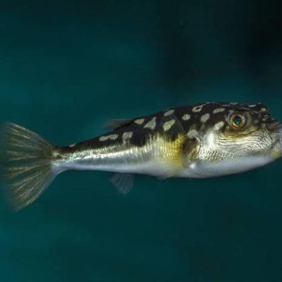 Likely reasons for pufferfish strandings