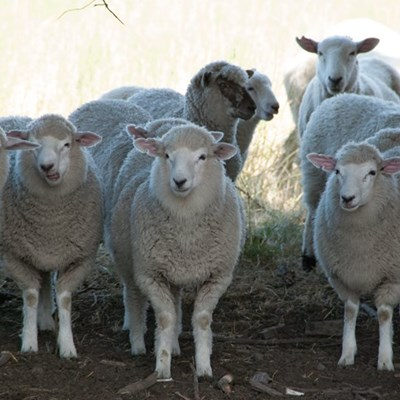Shearing and wool exports now allowed during lockdown