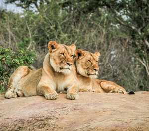 Best Places to see Lions in the Kruger