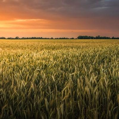 Southern Cape urgently needs follow-up rain – Grain SA