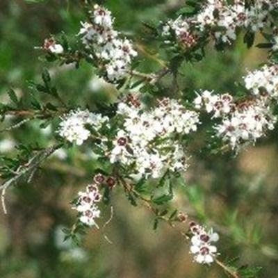 Sanbi initiates control measures of Kanuka plants in George