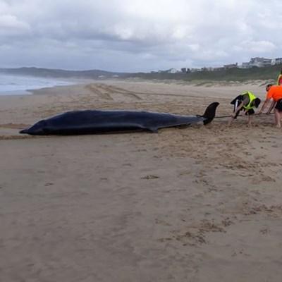 2 beaked whales beach at Little Brak