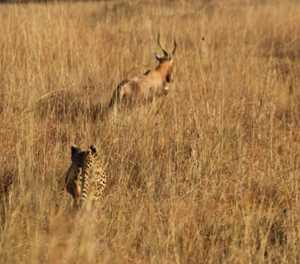 'Missing' Rietvlei cheetah spotted in the nature reserve