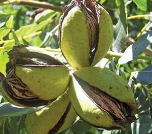 Pecan nuts: How to plan an orchard and prepare the soil