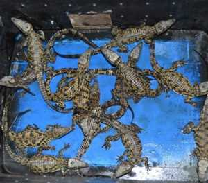 13 Baby crocodiles rescued in Ladysmith