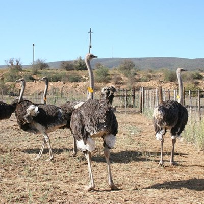 European Union lifts ban on ostrich meat