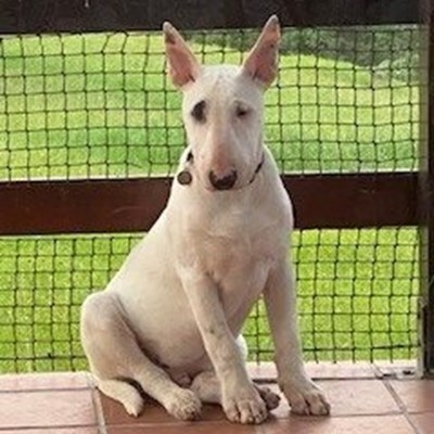 Reward offered for missing deaf bull terrier