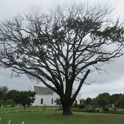 Beheermiddels op besmette bome getoets
