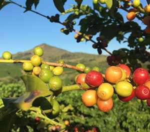 Covid-19 delays 2020 coffee harvest as prices weaken