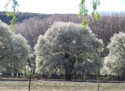 Pear blossoms pop