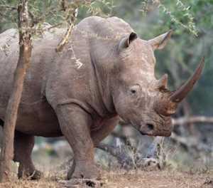 1 600 rhinos under threat as breeder feels the pinch