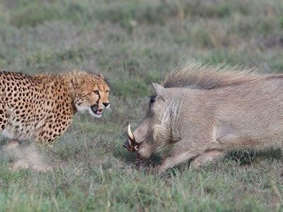 Motherly instinct: Cheetah vs warthog