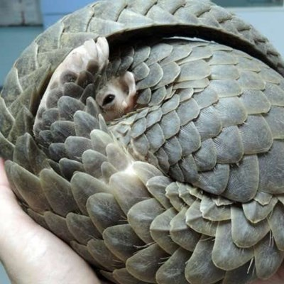Scales from 17 000 pangolins from Nigeria bound for Vietnam seized in Singapore