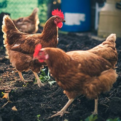 Proposed new chicken farm raises concern
