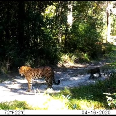"""Leopard sighting completely normal"""