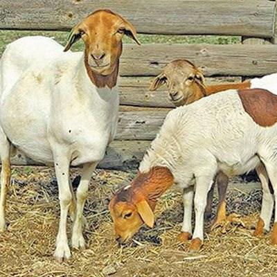 The basics of the Bapedi breed