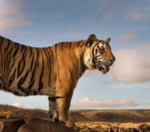 A Unique Encounter with Tigers in the Karoo