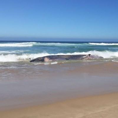 Whale carcass stranded at Glentana