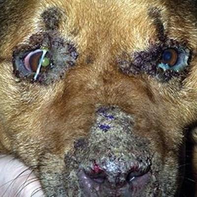 Aggressive distemper strain kills 80 dogs