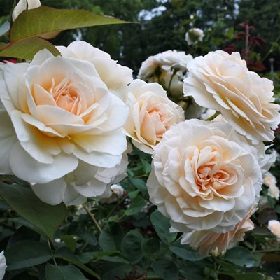 Pruning roses: The hardest cut is the kindest