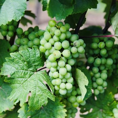 Table grape industry looks towards Asia for market growth