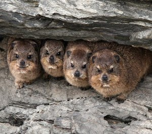 Don't feed the dassies