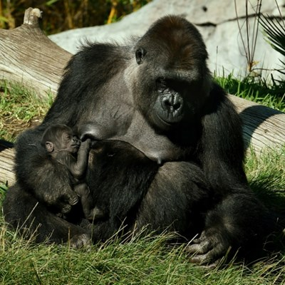 Gorillas at San Diego zoo test positive for Covid-19