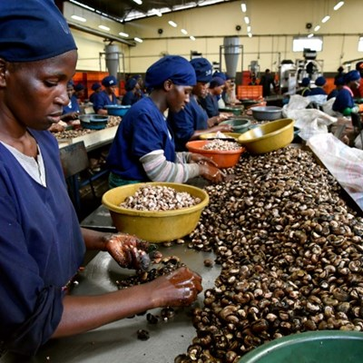 Grey gold: Ivory Coast cashes in on the cashew