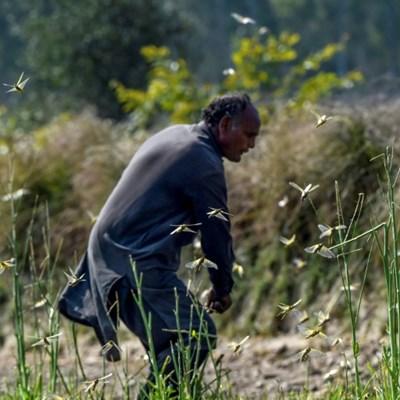 Pakistan struggles to combat devastating locust plague