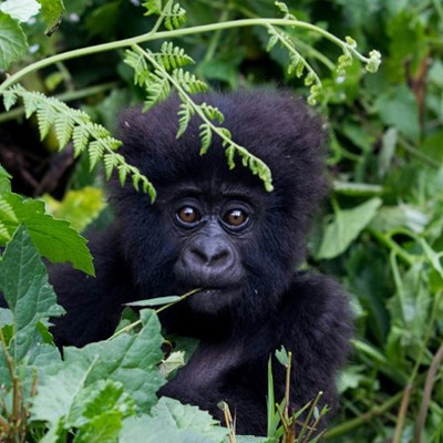 Gorilla among 200 endangered species threatened by conflict: conservationists