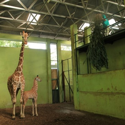 Bali zoo's newborn baby giraffe named Corona