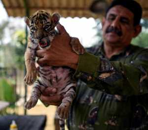 Bengal tiger called Covid gives Mexico zoo hope during pandemic
