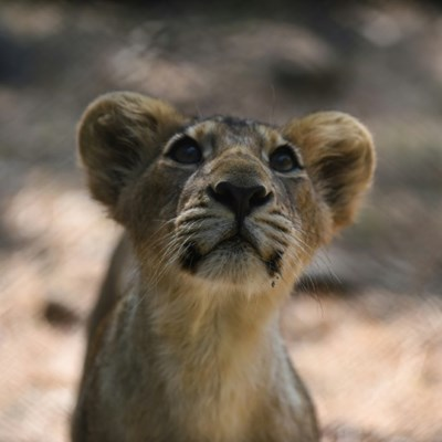 India's endangered lion prides conquer disease to roam free