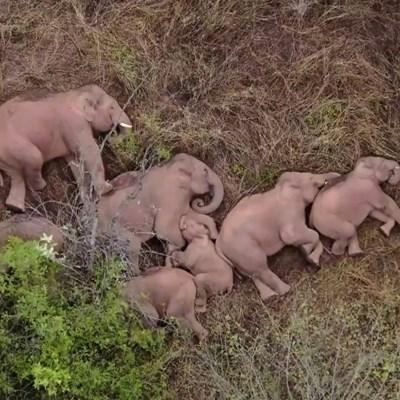 Heavy sleepers: Elephants on epic trek take nap