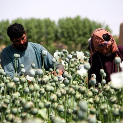 Poppies bloom across Afghanistan as drought eases