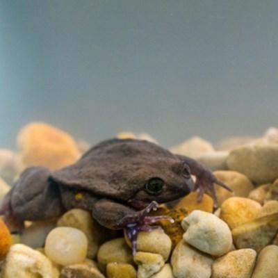 Unfroggetable: Endangered Bolivian amphibians get long-awaited first date