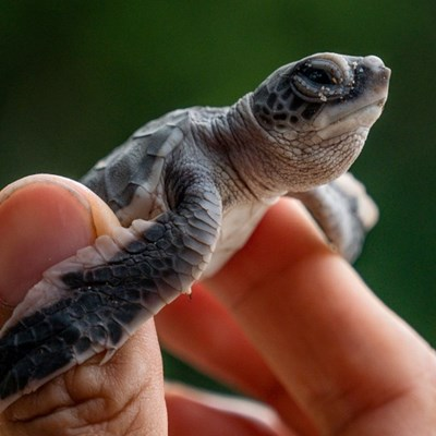 From egg hunter to protector, Malaysian battles to save turtles