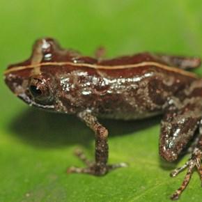 New Peruvian frog leaps into amphibian species ledger