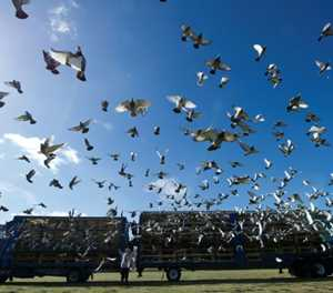 Belgian pigeon flies high in record 1.25 million euros auction