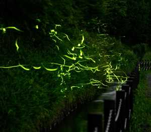 With festival cancelled by virus, Japan fireflies dance alone