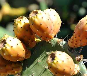 Prickly pears: 'humble' cactus brings hope to Algeria