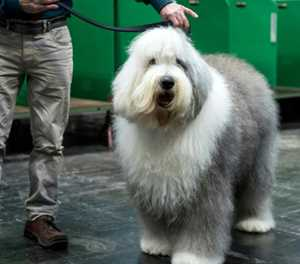 'Dulux dog' breed faces extinction in Britain