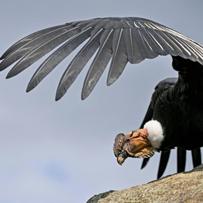 Scientists and indigenous people unite to save Colombian condor
