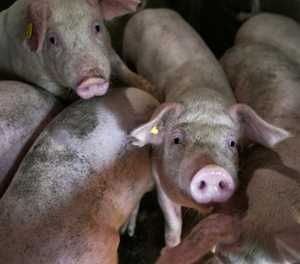 Chinese inflation hits eight-year high as pork prices double