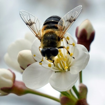 Unsung heroes? How hoverflies play key pollination role