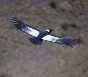 In Ecuador, pair of Andean condors revives hope for species' survival