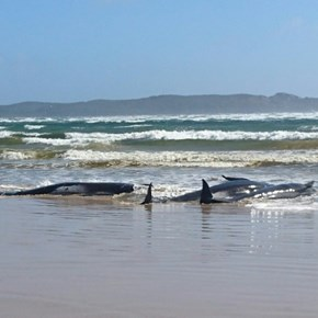 Rescuers find another 200 stranded whales in Australia
