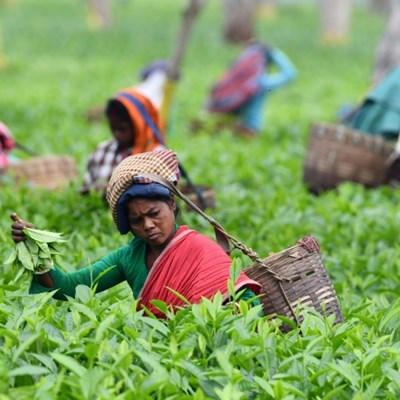 Golden brew: Rare Assam tea bags world record at auction