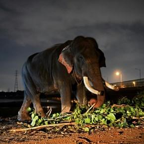 Delhi's last elephants await marching orders